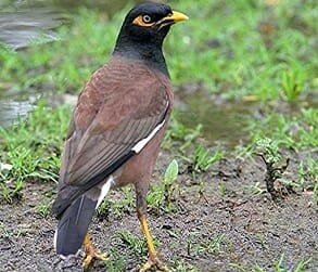 Image for Canberra Indian Myna Action Group